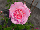 pink-rose-in-the-garde