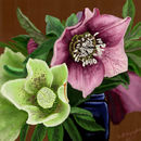 christmas-roses-helleb