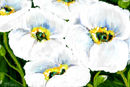 white-poppies