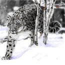 snow-leopard